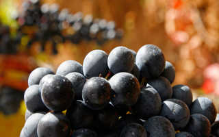 Виноград Темпранильо: описание сорта, фото и отзывы садоводов