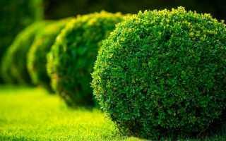 Самшит – виды и правила использования в озеленении и возможности их использования (140 фото)