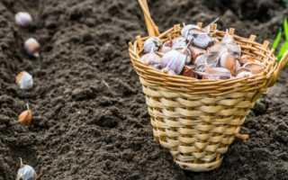 Когда сажать чеснок под зиму в Ростовской области?