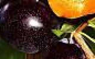 Алыча Блэк Голд — описание сорта, фото и отзывы садоводов