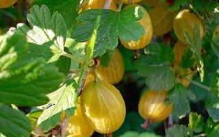 Agrest Mody Yellow: Описание, Преимущества и недостатки сортов, технологии выращивания, мнения садовника