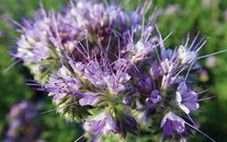 Фацелия сидератум: как и когда сеять весной, когда пахать, полезные свойства