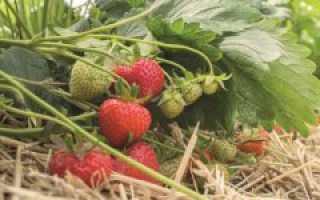 Выращивание и уход за клубникой в Сибири, лучшие сорта для выращивания в грунте
