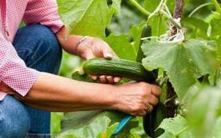 Чем подкормить огурцы в августе для роста завязей?