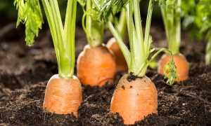 Сорта моркови для зимнего хранения для Сибири