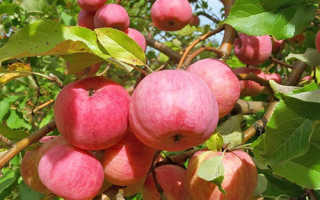 Когда лучше сажать яблони в Подмосковье: весной или осенью?