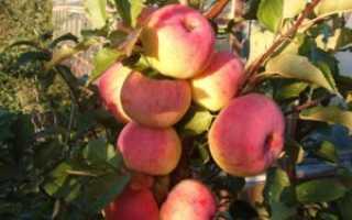 Яблоня Пионерка — описание сорта, фото, отзывы