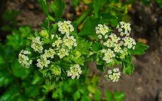 Apium Greaveolens Apium – Описание, Выращивание, Фото | на