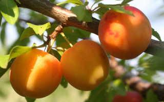 Алыча Нижегородская — описание сорта, фото и отзывы садоводов