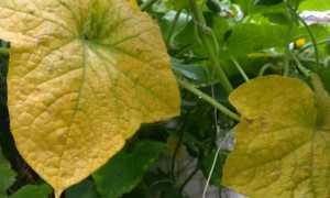 Пожелтели листья у огурцов в теплице — что делать?