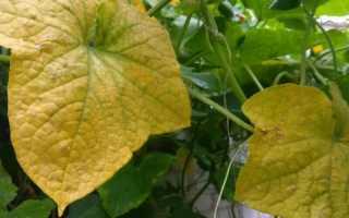 Почему сохнут и желтеют листья у огурцов?