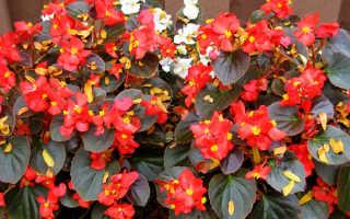 Бегония вечноцветущая: уход в домашних условиях, сорта, описание, фото