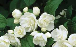 Гикори вирджинальный: описание садового гибрида жасмина