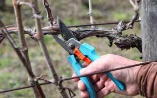 Весной подмерз виноград — что делать?