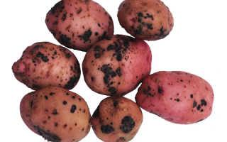 Ризоктониоз картофеля и лечение