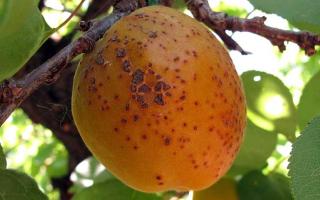 Почему на абрикосах коричневые пятна?