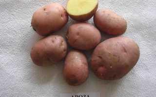Сорта картофеля для Кировской области