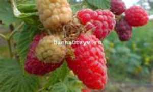 Малина Арбат — описание сорта, фото и отзывы садоводов