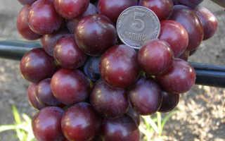 Виноград Подарок Несветая: описание сорта, фото и отзывы садоводов