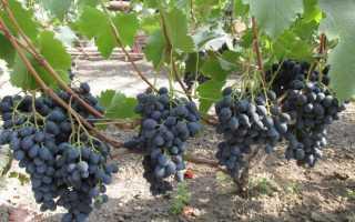 Сорта винограда со сложной устойчивостью (к болезням, морозам и вредителям): выбор лучших сортов винограда, устойчивых к плесени и оидиуму