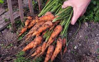 Когда убирать морковь с грядки на хранение и как хранить?