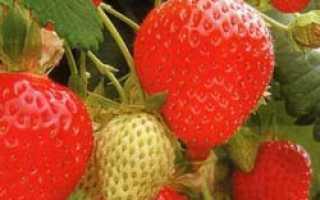Земляника Фреска: выращивание, описание сорта, фото и отзывы