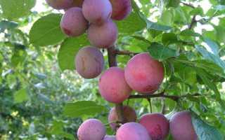 Алыча Деликатесная — описание сорта, фото и отзывы садоводов