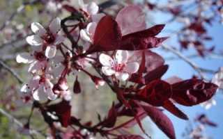 Алыча Пестролистная Hessei — описание сорта, фото и отзывы садоводов