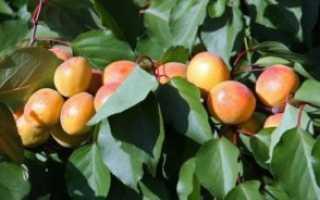 Уход за абрикосами осенью — это важно знать