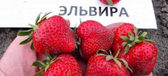 Земляника Эльвира: выращивание, описание сорта, фото и отзывы