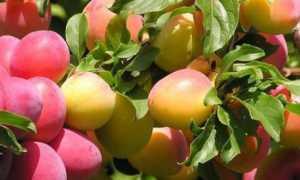 Обработка абрикоса весной от болезней и вредителей