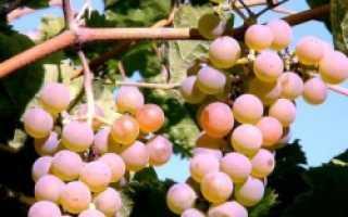 Как посадить виноград летом?