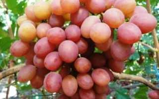 Виноград Гелиос: описание сорта, фото и отзывы садоводов