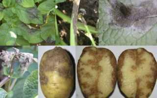 Как обеззаразить землю от фитофторы после картофеля?