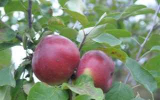 Яблоня Белорусская Сладкая — описание сорта, фото, отзывы