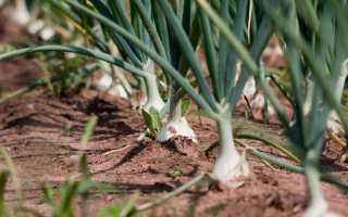 Можно ли озимый лук сажать весной?