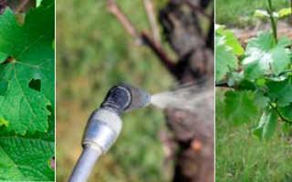 Чем обработать виноград на зиму от болезней и вредителей?