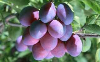 Уход за сливами осенью: секреты садоводов