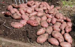 Картофель Сарпо Мира — описание сорта, фото, отзывы, посадка и уход