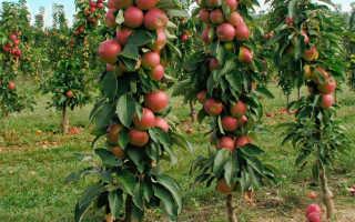 Колоновидная яблоня Поэзия — описание сорта, фото, отзывы