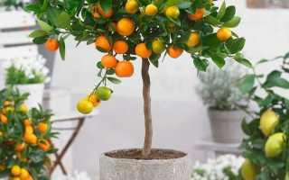 Цитрофортунелла (Citrofortunella microcarpa) – описание, выращивание, фото | на