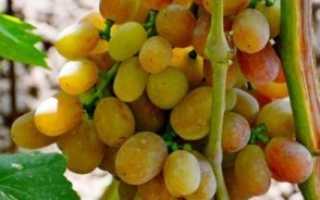 Виноград Хамелеон: описание сорта, фото и отзывы садоводов