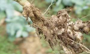 Устойчивые к киле сорта капусты
