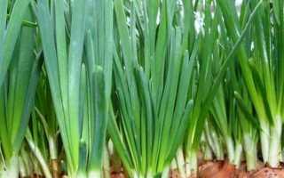 Выращивание лука на зелень в теплице осенью