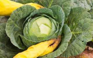 Сорта капусты для зимнего хранения: лучшая поздняя капуста для длительного хранения в свежем виде, список