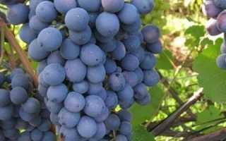 Виноград Слава Кинг: описание сорта, фото и отзывы садоводов