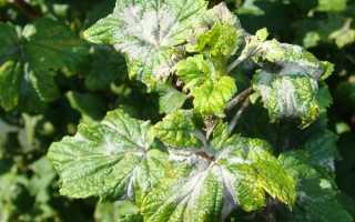 Ложная мучнистая роса смородины: способы борьбы с появлением черники, что делать с белыми пятнами на листьях весной