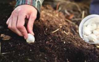 На каком расстоянии сажать зимний чеснок осенью?