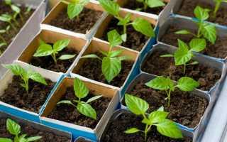 Выращивание рассады перца без сбора урожая в домашних условиях Фото Видео