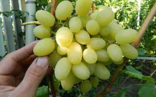 Лучшие сорта винограда для Волгоградской области